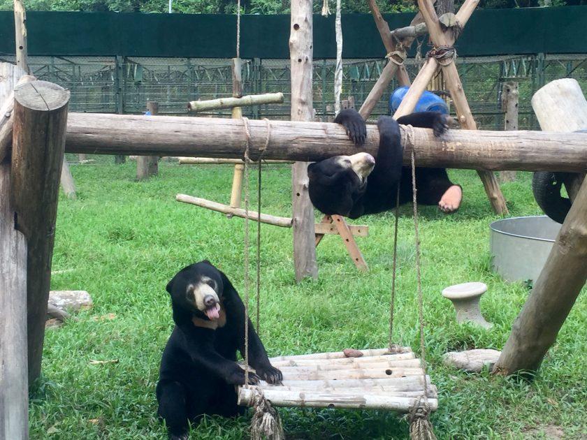 sun bears Murphy and Goldie, Animal Asia